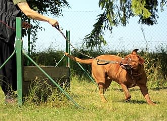 brown dog with chain