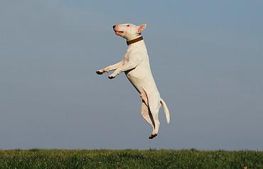 jumping white dog